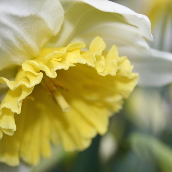 Einpflanzen und Pflege von Narzissen