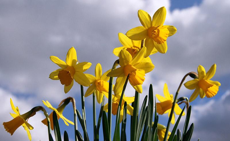 Narzissenzwiebeln Blumenzwiebeln Von Narzissen