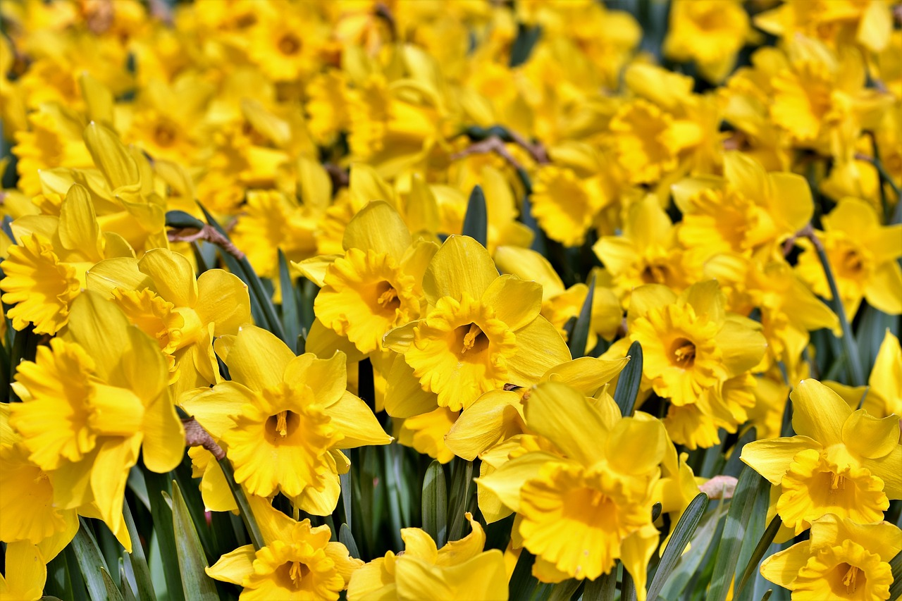 Narzissen als perfekte Gartenblumen